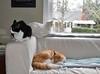 Variety pack (chocolate, butterscotch and vanilla) (rootcrop54) Tags: tina female tuxedo jimmy orange ginger tabby male charlie white allwhite companions friends window sofa couch neko macska kedi 猫 kočka kissa γάτα köttur kucing gatto 고양이 kaķis katė katt katze katzen kot кошка mačka gatos maček kitteh chat ネコ multiple cc100 cc300