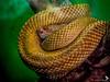 Cascabel (Zaheer Baksh Photography) Tags: cascabel snake reptile zbp zoo zoolife trinidad colors trinidadandtobago wrapped emperorvalleyzoo animal zaheerbakshphotography macro cookstreeboa boa boaconstrictor