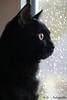 Buffy (R.O. - Fotografie) Tags: buffy guckt aus dem fenster schaut blick view from window katze cat rofotografie regentropfen raindrops panasonic lumix dmcfz1000 fz 1000 dmc indoor animal pet