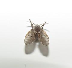 Mosca-de-banheiro (Fly) (Hélio Paranaíba Filho) Tags: nature natureza inseto insetos insect insects bug bugs moscadebanheiro fly diptera nematocera psychodidae psychoda moscadosfiltros chamexuga