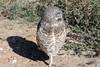 Burrowing Owl (Athene cunicularia); Los Lunas, NM [Lou Feltz] (deserttoad) Tags: nature newmexico bird wildbird raptor owl desert behavior migration