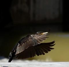 ...en pleno vuelo. (josemonreal) Tags: cormoran vuelo rio ave ebro