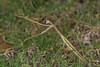 DSC_9329 (crispy1612) Tags: praying mantis nikon r1c1nikon d750 105mm