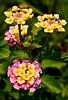 Texas Lantana DSC_0330 (richardsscenery) Tags: flower texaslantana hiking burst bundle purple yellow beauty creation nikon nikoncamera