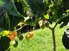 Tomate de Arbol. (Karla Matías) Tags: solanumbetaceum tomatoes tomatedeárbol subachoque huerta sow organicgarden