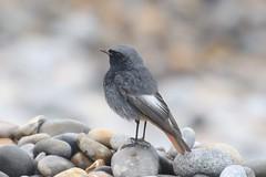 Black Redstart (phoenicurus ochruros) (mrm27) Tags: redstart blackredstart phoenicurus phoenicurusochruros sheringham norfolk