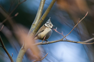 Crested Tit_w_4407