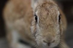 20180106_IMG_6738 (NAMARA EXPRESS) Tags: animal rabbit eye face okuno island cloudy daytime winter outdoor color okunoisland kasahara hiroshima japan canon eos 7d sigma 50mm f14 dg hsm art namaraexp