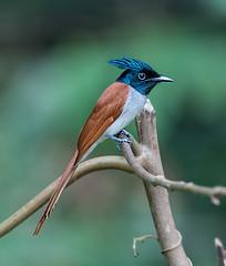 Asian (Indian) Paradise Flycatcher (Koshyk) Tags: flycatcher thattekkad ernakulam kerala salimalibirdsanctuary nikond4s