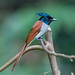 Asian (Indian) Paradise Flycatcher