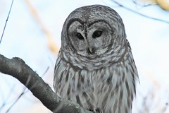 Barred Owl up close (karma (Karen)) Tags: baltimore maryland home backyard birds barredowl heartshaped smileonsaturday hsos topf25