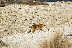 The future queen (Shayon Ghosh) Tags: canon canon7dmarkii ef100400mmf4556lisiiusm pantheratigris bengaltiger indiantiger tigress wildlife bigcats forest jungle tigerreserve jimcorbettnationalpark dhikala uttarakhand india indianwildlife