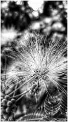 come piuma, like feather (Massimo Vitellino) Tags: nature outdoors tree park macro flower hdr blackandwhite abstract contrast conceptual noperson perspective lights shadows