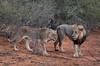 Couple lions South Africa_4020 (ichauvel) Tags: lion lionne couple animauxsauvage wildeanimals félins félidés faune fauna exterieur outside parckruger krigerpark mpumalanga afriquedusud southafrica afrique africa voyage travel savane getty