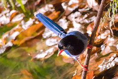 Pole Dance in Woods (Jimweaver) Tags: bird blue magpie taiwan taipei mountain forest woods tree 長尾山娘 台灣藍鵲 山 森林 樹 眼 鳥 木質 天空 杆 線條