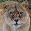 Looking Good (decorace51) Tags: carnivore lioness lion yorkshirewildlifepark