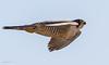 one rapid raptor (morris 811) Tags: peregrine falcon nikon nikkor fast flight wings shape raptor 500mm f4 d4s full frame flying eyes beak