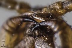 Scutigera coleoptrata (cienpiés domestico)  detalle colmillos y boca. (yonatancruz) Tags: macro macrofotografia macrophotography animals animales ngc nature naturaleza centipede sienpies insect insecto insects insectos natgeo natural natualworld world fauna hogar de ciudad colmillos teets fangs fang