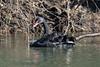 The Mysterious Black Swan (Cygnus atratus) (CJH Natural) Tags: blackswan cygnusatratus schwan mosel river nature wildlife wildlifephotography naturephotography light licht wild natur remerschen water lake reflection