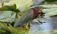 Taking a wade-and-see approach (Shannon Rose O'Shea) Tags: shannonroseoshea shannonosheawildlifephotography shannon shannonoshea greenheron heron bird beak feathers wings colorful water lake lakemirror lakeland florida nature wildlife waterfowl green lotusleaves wading wadingbird art photo photography camera wild wildlifephotography flickr wwwflickrcomphotosshannonroseoshea butoridesvirescens canon canoneos80d canon80d eos80d 80d canon100400mm14556lisiiusm outdoors outdoor fauna yelloweye yellowlegs