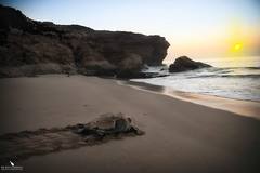 Marine Green Turtle Returning to the Ocean (pbmultimedia5) Tags: marine green turtle indian ocean nature reserve shore oman arabian peninsula wildlife beach pbmultimedia ras al jinz sunrise
