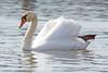 Schwan (www.nbfotos.de) Tags: schwan swan vogel bird wasservogel waterbird