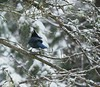 Steller's Jay in the cold winter world. (ebeckes) Tags: stellersjay winter bird olympusemiii panyleica100400 corvid