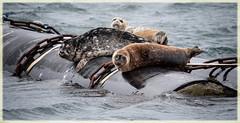 ignoring the wind and rain (marneejill) Tags: harbour seals harbor floating barrel gusty waves french creek marina