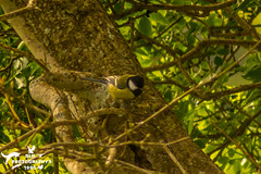 Great Tit in the Woods (SLHPhotography1990) Tags: 2017 april nikon sandown sophs culver downs walk wild wildlife bird great tit wood woodland tree branch
