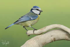 Cinciarella (Polpi68) Tags: bird birds uccello nature