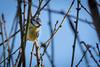 En attente des beaux jours....! (minelflojor) Tags: mésange oiseaux arbre branche ciel bokeh flou nature yeux plume bec bourgeon tit bird tree branch sky blur eyes feather beak bud tamronsp90mmf28dimacrovc