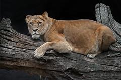 FIRST LADY (babsbaron) Tags: nature tiere animals raubtiere predators katzen cats grosskatzen raubkatzen bigcats löwen löwin lions lioness tierpark hamburg hagenbeck jäger hunter