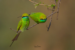 A pair of green bee eaters early morning