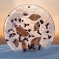 entombed (marianna_a.) Tags: p1800777 frozen leaves berries ice disc snow sunset macro mariannaarmata
