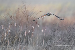 Short Eared Owl on a very cold morning (stephenwalshphoto) Tags: