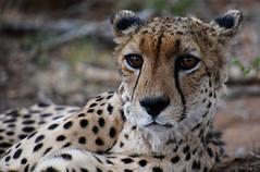 Guépard/ cheetah South Africa_3906 (ichauvel) Tags: guépard cheetah félin animal faune fauna portrait regard eyes beautédelanature beautyofnature exterieur outside parckruger voyage travel wilde savane mpumalanga getty