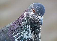 Dove portrait (carlos_ar2000) Tags: paloma pigeon dove ave pájaro bird naturaleza nature animal portrait retrato buenosaires argentina