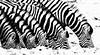 Lined up (zimpetra) Tags: namibia etosha np zebra mammal blackwhite patterns