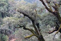 Fuzzy oaks (rozoneill) Tags: rogue river trail blm medford grants pass galice whiskey creek cabin graves rainie falls rapids oregon hiking