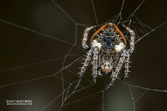 Orb weaver spider (Eriovixia sp.) - DSC_2241 (nickybay) Tags: singapore macro admiraltypark orb weaver spider eriovixia araneidae