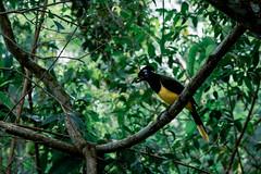 Urraca de cresta alborotada (julien.ginefri) Tags: argentina argentine america latinamerica southamerica iguazu iguaçu brasil brazil