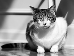 DSC_4710_20180218_125623 (Wan万) Tags: cat bw black white