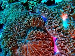 Actinia (markb120) Tags: actinia anemone sea ocean deep depth diving scuba water underwater animal fauna