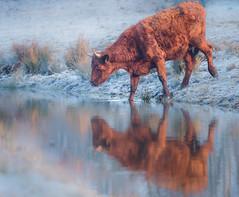 Kanaalpark 3423 (Ingeborg Ruyken) Tags: dropbox rodegeus februari sunrise winter morgen frost february flickr cow kanaalpark morning koe empel 500pxs natuurfotografie ochtend zonsopkomst dawn vorst