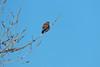 American Kestrel (Wild Bird Company) Tags: americankestrel falcosparverius americankestrelcolorado americankestrelboulder wildbirdboulder wildbirdcolorado wildbirdcompany formerwildbirdcenter notwildbirdsunlimited birdseed birdwalk saturdaymorningbirders waldenpondswildlifehabitat bouldercountyopenspace sawhillponds cityofboulderopenspaceandmountainparks colorado gunbarrel stevefrye