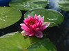 Nymphaea 'Prapunt Red' Hardy Waterlily บัวฝรั่งสัญชาติไทย 'ประพันธ์เรด' 19 (Klong15 Waterlily) Tags: prapuntred hardyprapuntred thailandwaterlily waterlily waterlilies pond pondplant flowerlover lotuslover hardywaterlilyprapuntred บัวฝรั่ง บัว บัวแดง บ้านและสวน landscape landscapes ประพันธ์เรด บัวฝรั่งสัญชาติไทย บัวฝรั่งประพันธ์เรด