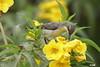 Purple sunbird (harshithjv) Tags: bird birding sunbird purple purplesunbird avian aves cinnyris asiaticus passeriformes nectariniidae canon 80d tamron bigron g2 nocrop