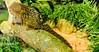 Pygmy Marmoset (Merrillie) Tags: marmoset southamerica monkey pygmymarmoset primate nature furry amazonbasin wildlife zoo fauna animals mogozoo animal