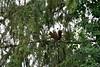 Ecureuil roux (Tho41170) Tags: ecureuil roux sciurus vulgaris red squirrel animaux faune france mammifère