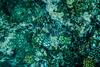 Rotfeuerfisch (grzegorzmielczarek) Tags: mauritius ilemaurice unterwasser underwater rotfeuerfisch feuerfisch pteroinae lionfish firefish